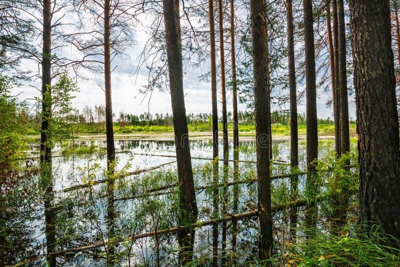 Floresta do pinho na borda do pântano Sibéria, Rússia fotos de stock