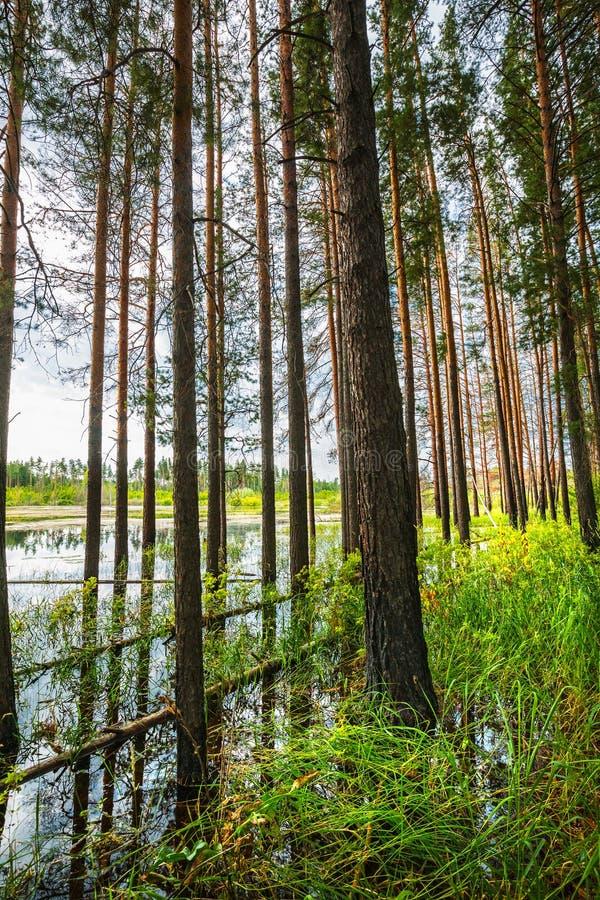 Floresta do pinho na borda do pântano Sibéria, Rússia foto de stock