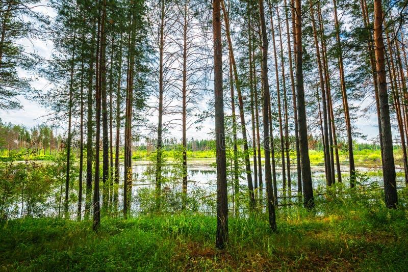 Floresta do pinho na borda do pântano Sibéria, Rússia imagens de stock royalty free