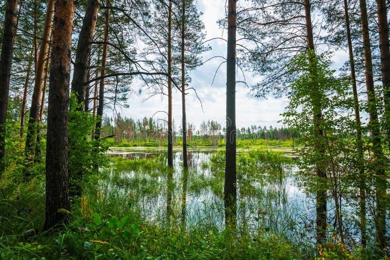 Floresta do pinho na borda do pântano Sibéria, Rússia fotografia de stock royalty free