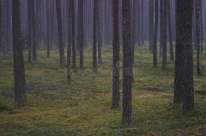 Floresta do pinho na manhã imagens de stock royalty free