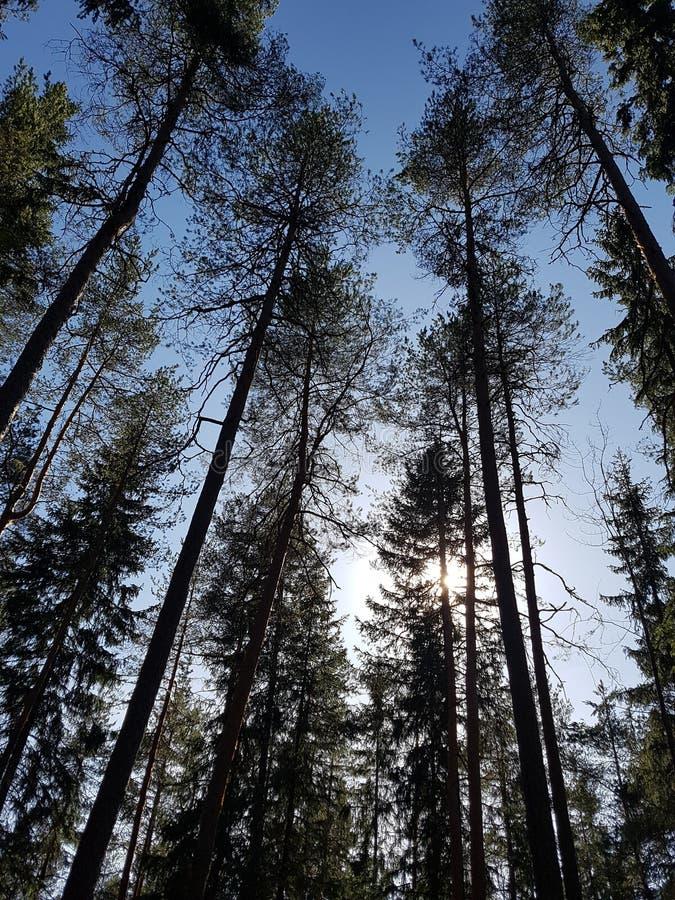 Floresta do pinho na mola imagens de stock