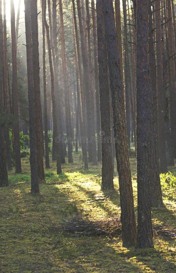 Floresta do pinho no amanhecer no nascer do sol foto de stock