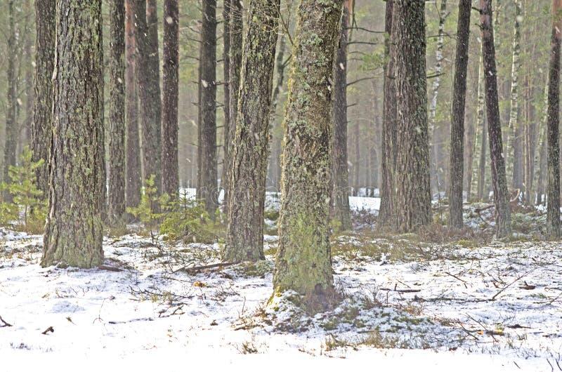 Floresta do pinho no inverno imagens de stock