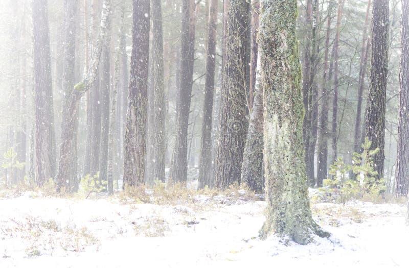 Floresta do pinho no inverno no amanhecer imagem de stock royalty free