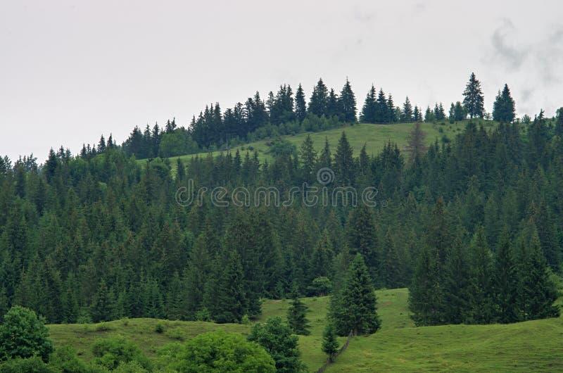Floresta do pinho no monte carpathians imagem de stock royalty free