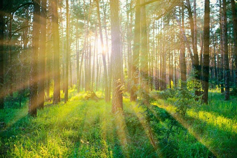 Floresta do pinho no nascer do sol fotografia de stock royalty free
