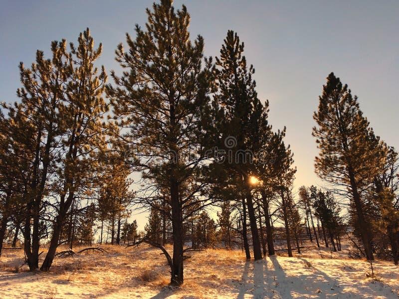 Floresta do pinho no por do sol fotos de stock royalty free