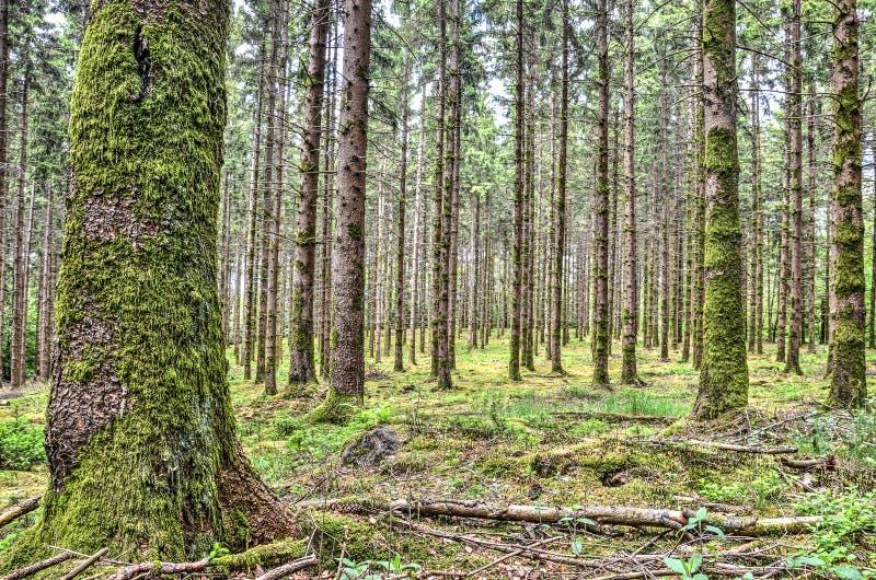 Floresta do pinho perto do caldo fotos de stock royalty free