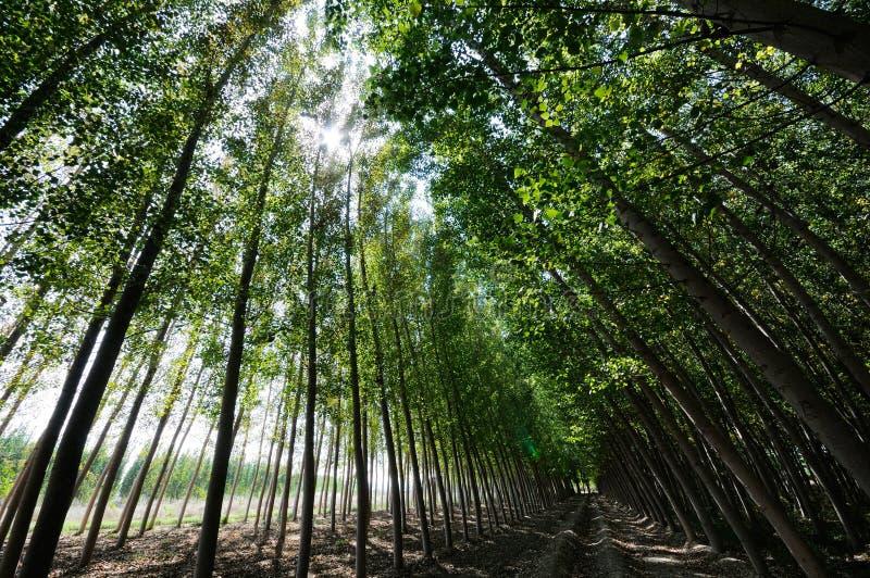 Floresta do Poplar fotografia de stock