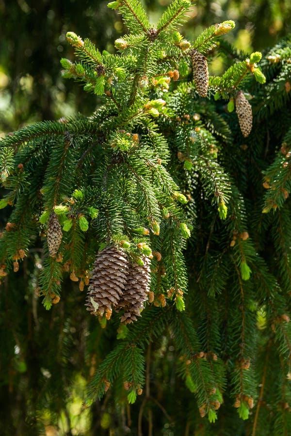 Floresta do ramo do abeto na primavera imagem de stock