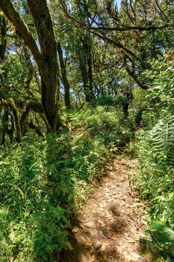 Floresta do Relict na cordilheira do parque nacional de Garajonay Louros e árvore gigantes Heather ao longo dos trajetos de enrol imagem de stock royalty free