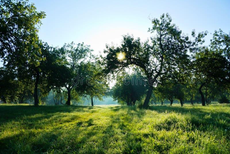 Floresta do verão, sol fotografia de stock