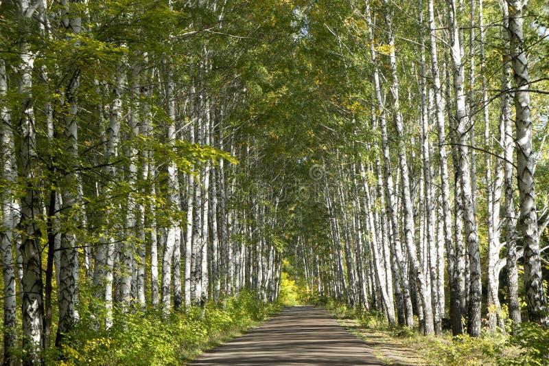 Floresta do vidoeiro fotos de stock