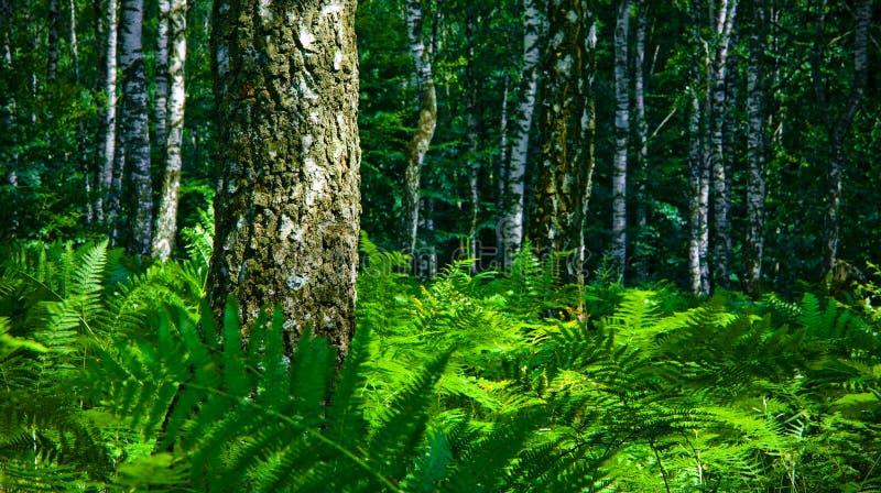 Floresta do vidoeiro imagens de stock royalty free