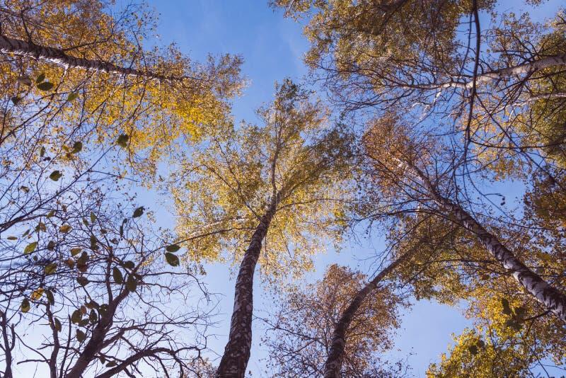 Floresta do vidoeiro do outono, opinião da cabeça-acima imagem de stock