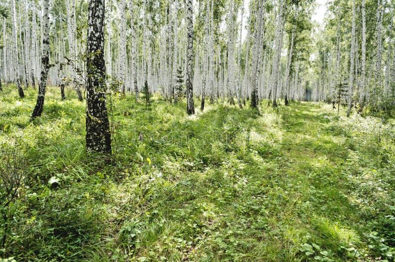 Floresta do vidoeiro e do pinho no verão no tempo ensolarado fotografia de stock royalty free