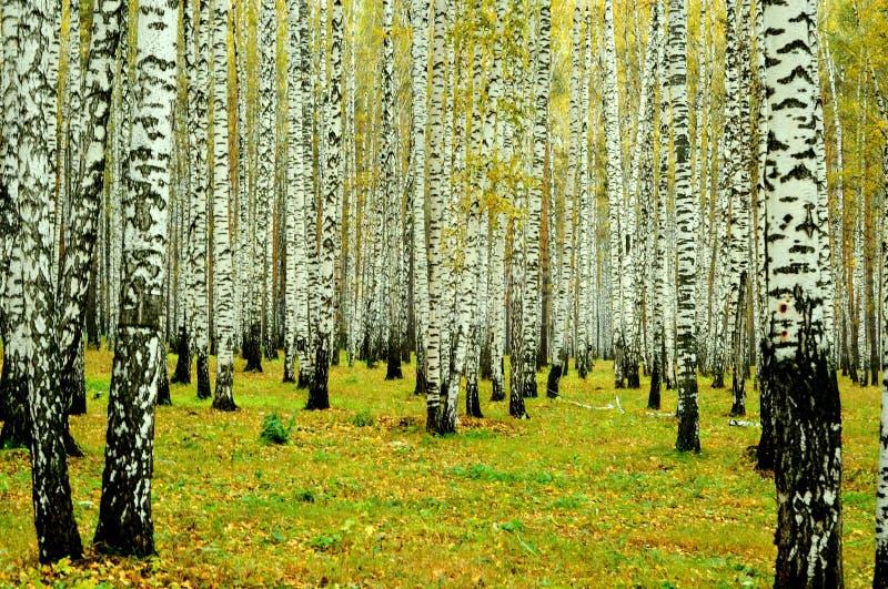 Floresta do vidoeiro, Ekaterinburg, Rússia fotografia de stock