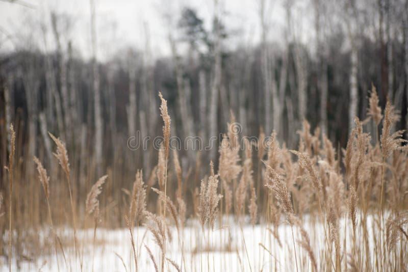 Floresta do vidoeiro do lanscape do inverno fotografia de stock royalty free