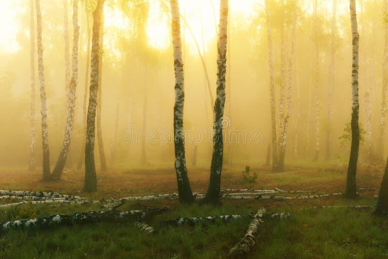 Floresta do vidoeiro no amanhecer fotografia de stock royalty free