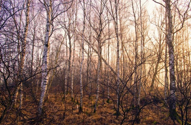 Floresta do vidoeiro no outono imagens de stock