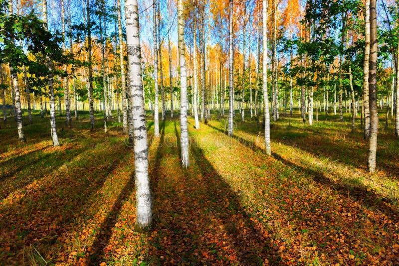 Floresta do vidoeiro no outono fotografia de stock royalty free
