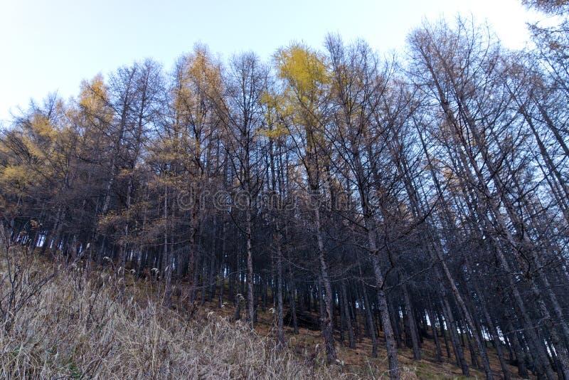 Floresta do vidoeiro no outono atrasado foto de stock royalty free