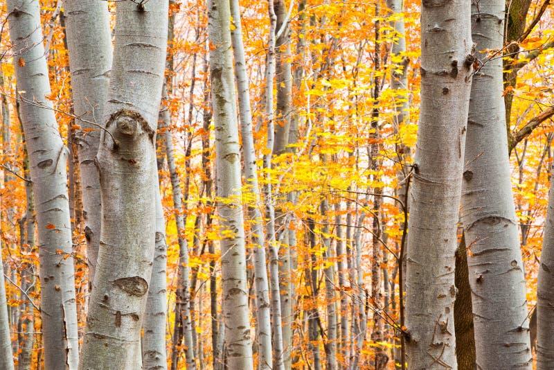 Floresta do vidoeiro no outono com as folhas amarelas vibrantes imagem de stock royalty free