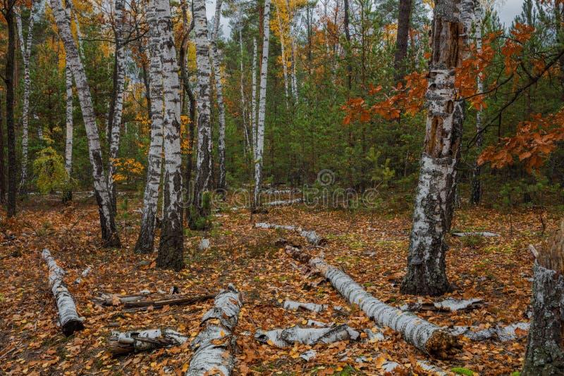 Floresta do vidoeiro do outono em torno de muitas folhas amarelas imagens de stock