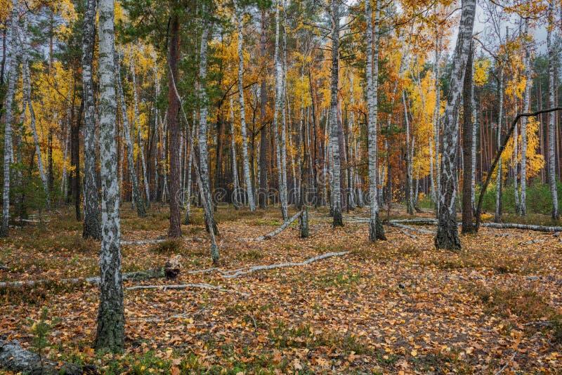 Floresta do vidoeiro do outono em torno de muitas folhas amarelas imagem de stock royalty free