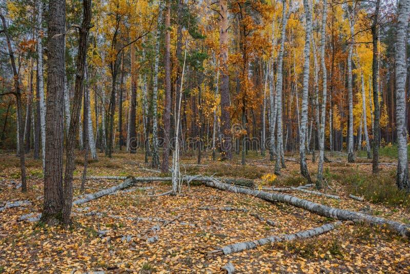 Floresta do vidoeiro do outono em torno de muitas folhas amarelas imagem de stock