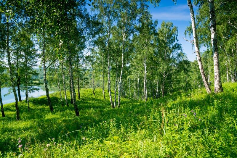 Floresta do vidoeiro perto do lago imagens de stock royalty free
