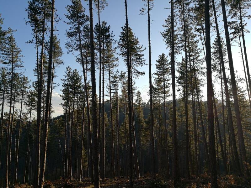 Floresta dos abetos no por do sol imagens de stock