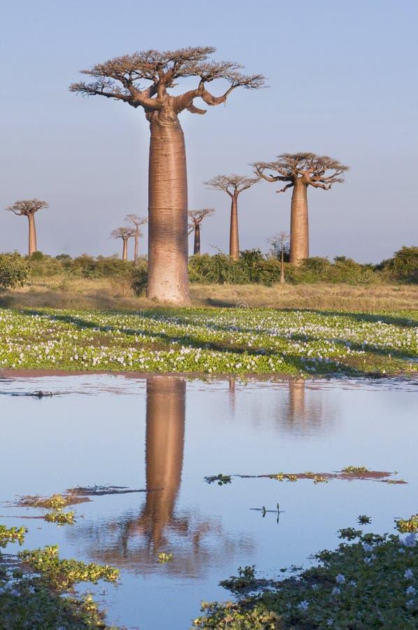 Floresta dos Baobabs - Madagascar foto de stock royalty free