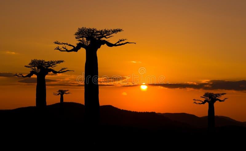 Floresta dos Baobabs - Madagascar fotografia de stock