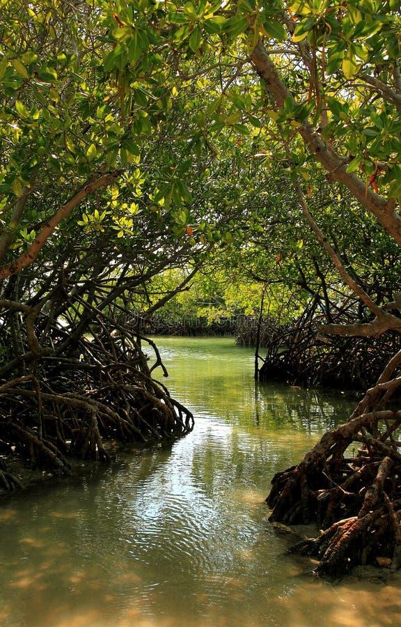 Floresta dos manguezais fotos de stock