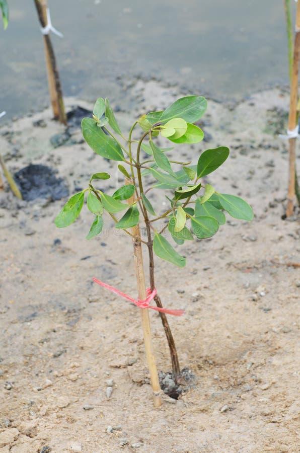 A floresta dos manguezais fotografia de stock