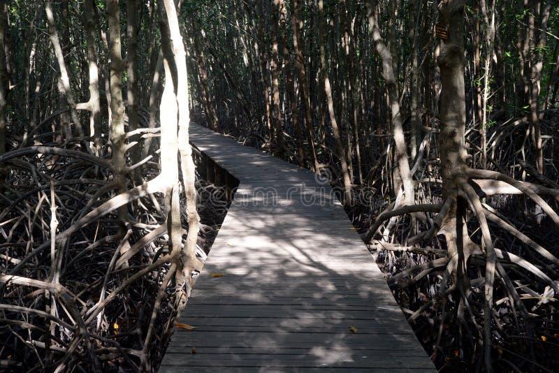 Floresta dos manguezais com maneira da caminhada fotos de stock