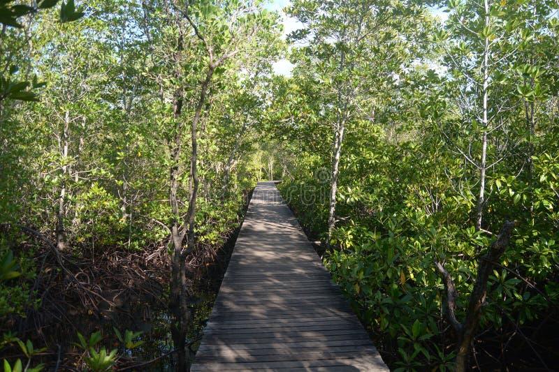 Floresta dos manguezais com maneira de madeira da caminhada foto de stock