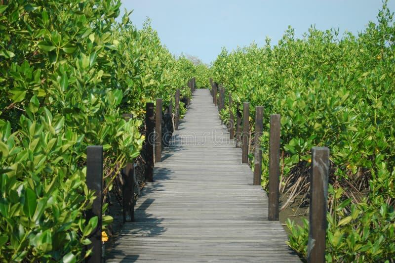 Floresta dos manguezais com ponte de madeira imagens de stock