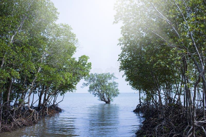 Floresta dos manguezais em Railay, Tailândia fotografia de stock royalty free