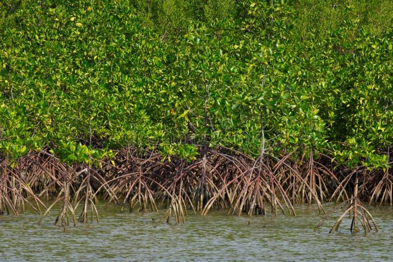 Floresta dos manguezais perto do mar Ilha de Samae San, Tailândia imagens de stock