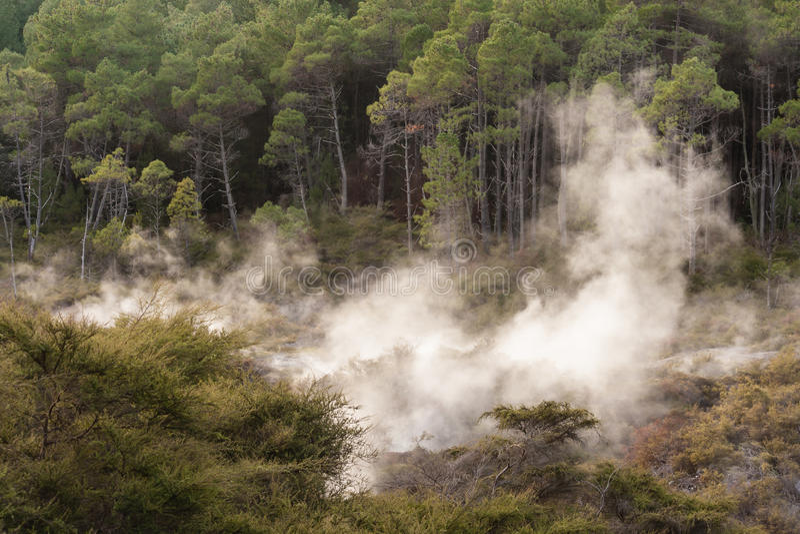 Floresta dos pinheiros em Rotorua fotos de stock royalty free