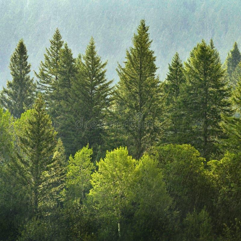 Floresta dos pinheiros na chuva fotos de stock