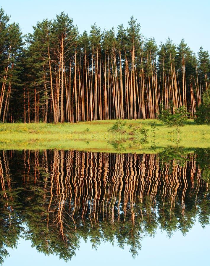 Floresta dos pinhos foto de stock royalty free