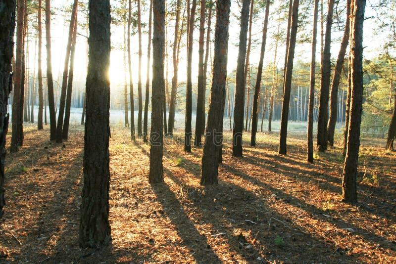 Floresta dos pinhos fotografia de stock