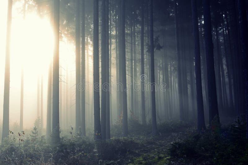 Floresta dourada com névoa e luz morna fotos de stock royalty free
