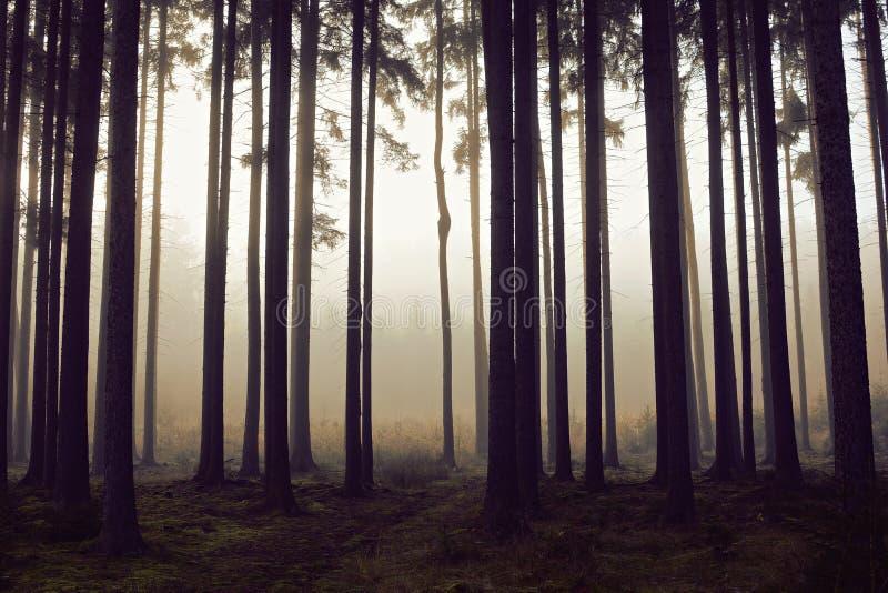 Floresta dourada com névoa e luz morna fotografia de stock