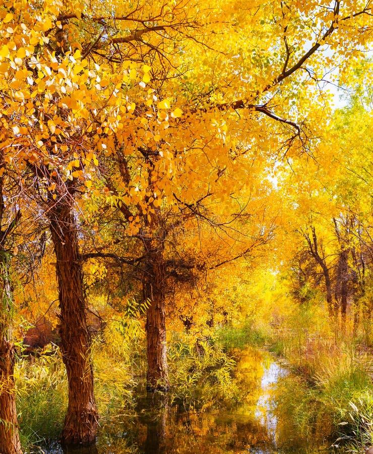 Floresta dourada do álamo fotos de stock royalty free