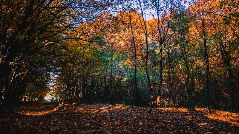 Floresta dourada do outono rico com raios do sol fotografia de stock